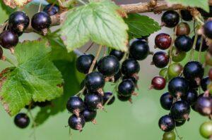 BLACK CURRANT A WONDER FRUIT