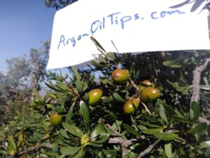 argan oil tips original image from morocco
