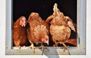 KERATOSIS PILARIS chicken